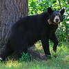 Image of Lily taken July 2011. Lily was born in 2007. Ursus americanus (American Black Bear).