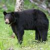 Image of Lily taken June 2011. Lily was born in 2007. Ursus americanus (American Black Bear).