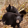 Image of Lily and Hope taken October 2010 outside their den.   Lily was born in 2007 and Hope in 2010. Ursus americanus (American Black Bear).