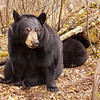 Image of Lily taken October 2010 outside her den (with Hope in the background). Lily was born in 2007. Ursus americanus (American Black Bear).