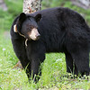 Image of Lily taken June 2011. Lily was born in 2007. Ursus americanus (American Black Bear).
