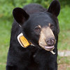 Image of Lily taken July 2010. Lily was born in 2007. Ursus americanus (American Black Bear).