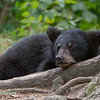 Image of Minnie's cub resting aken August 2011. Minnie is not one of the research bears from Shadow's clan. Ursus americanus (American Black Bear).