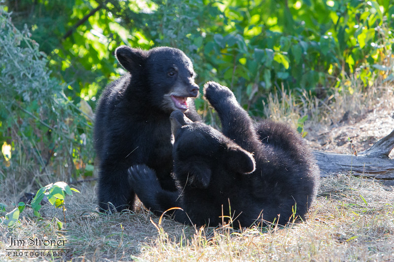 Image of Minnie's two cubs playing taking early morning during August 2011. I really liked the backlight on this one. Minnie is not one of the research bears from Shadow's clan. Ursus americanus (American Black Bear).