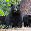 Image of Minnie and her two cubs taken August 2011. This bear is not related to the Shadow clan. Ursus americanus (American Black Bear).
