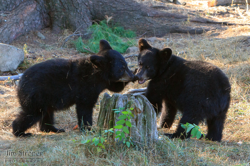 Image of Minnie's two cubs playing taking early morning during August 2011. Minnie is not one of the research bears from Shadow's clan. Ursus americanus (American Black Bear).