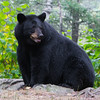 Image of Minnie taken September 2011. This bear is not related to the Shadow clan. Ursus americanus (American Black Bear).