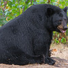Image of Minnie taken August 2011. Minnie always seems to have her mouth open! This bear is not related to the Shadow clan. Ursus americanus (American Black Bear).