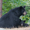 Image of Minnie and cub taken September 2011. The cub just finished nursing. This bear is not related to the Shadow clan. Ursus americanus (American Black Bear).