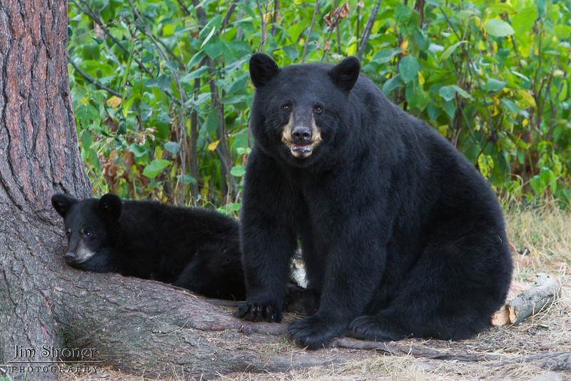 Image of Minnie and cub resting on a hot day taking August 2011. Minnie is not one of the research bears. Ursus americanus (American Black Bear).