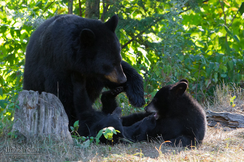 Image of Minnie playing with her cubs taking early morning during August 2011. Minnie is not one of the research bears from Shadow's clan. Ursus americanus (American Black Bear).