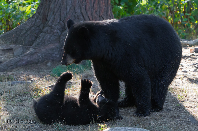 Image of Minnie playing with one of her cubs taking early morning during August 2011. Minnie is not one of the research bears from Shadow's clan. Ursus americanus (American Black Bear).