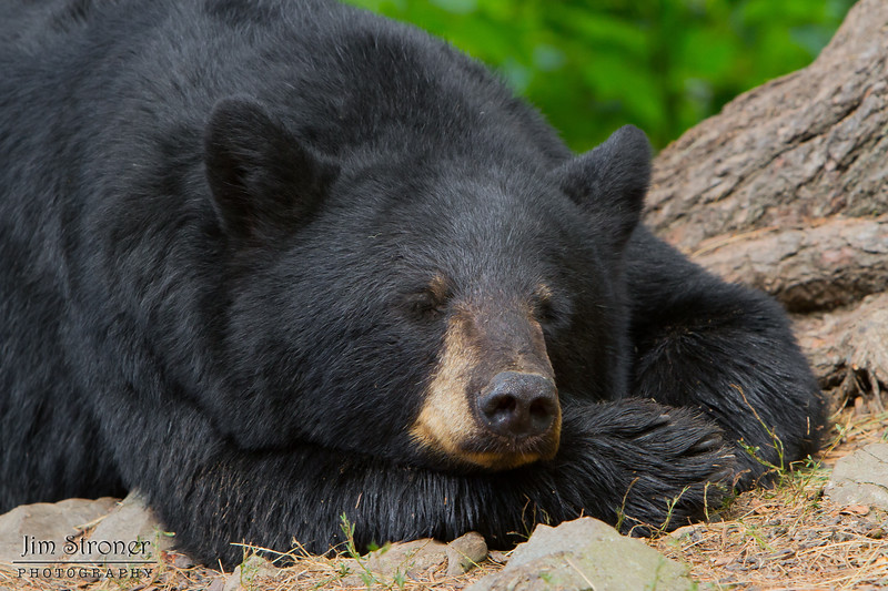 Image of Minnie resting while her two cubs sleep in the tree to her left taken August 2011. Minnie is not a member of the Shadow clan but I've included her here. Ursus americanus (American Black Bear).