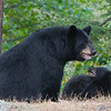 Image of Minnie and cubs taken September 2011. I love the look on the cubs face as it looks for reassurance from mom. This bear is not related to the Shadow clan. Ursus americanus (American Black Bear).