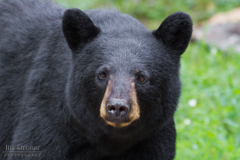 Image of Minnie taken August 2011. This bear is not related to the Shadow clan. Ursus americanus (American Black Bear).