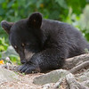 Image of Minnie's cub playing intently with a tree root taken August 2011. Minnie is not one of the research bears from Shadow's clan. Ursus americanus (American Black Bear).