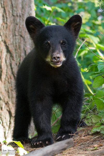 Image of cub taken August 2011. Even though this image was taken in August the cub is very small and even has some of it's young cub fur you would expect to see a few months earlier in the summer Ursus americanus (American Black Bear).