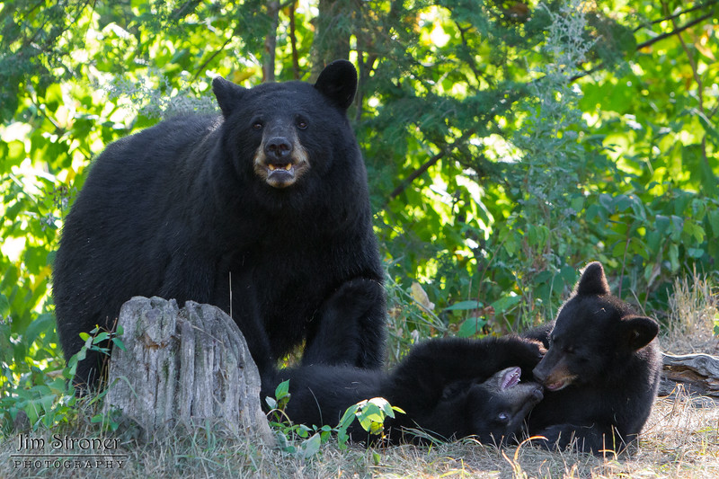 Image of Minnie watching while her two cub's plays nearby taking early morning during August 2011. Image of Minnie playing with one of her cubs taking early morning during August 2011. Minnie is not one of the research bears from Shadow's clan. Ursus americanus (American Black Bear). Ursus americanus (American Black Bear).