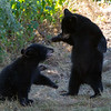 Image of Minnie's two cubs playing taking early morning during August 2011. Photo is a little soft but I like the action. Minnie is not one of the research bears from Shadow's clan. Ursus americanus (American Black Bear).