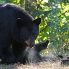 Image of Minnie watching while cub plays nearby taking early morning during August 2011. Minnie is not one of the research bears from Shadow's clan. Ursus americanus (American Black Bear).