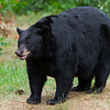 Image of RC as a taken August 2011.  RC was born in 1999. Ursus americanus (American Black Bear).