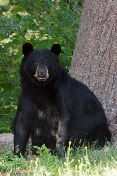 Image of RC as a taken July 2010.  RC was born in 1999. Ursus americanus (American Black Bear).