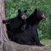 Image of RC and her cub taken July 2010. The cubs was born in January 2010. Ursus americanus (American Black Bear).