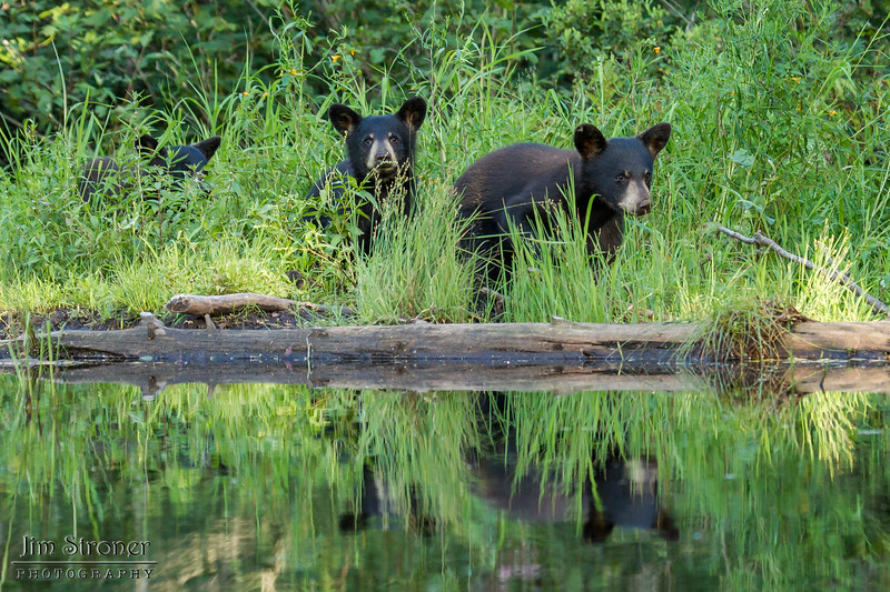 Image of Samantha's three cubs crossing old beaver damn taken July 2012.   The cubs were born in 2012.  Ursus americanus (American Black Bear).