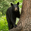 Image of Samantha taken August 2012.  Samantha was born 2009.  Ursus americanus (American Black Bear).