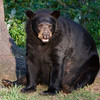 Image of matriarch Shadow taken July 2010. Shadow was believed to have been born in 1990. Ursus americanus (American Black Bear).