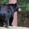 Image of matriarch Shadow taken August 2011. Shadow was believed to have been born in 1990. Ursus americanus (American Black Bear).