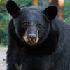 Image of Shannon taking August 2011. Shannon was born in 2005. Ursus americanus (American Black Bear).