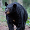 Image of Shannon taken July 2010. Shannon was born in 2005. Ursus americanus (American Black Bear).