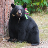 Image of Sharon taken September 2011 when she was a yearling. Sharon was born in 2010 and is decorated with colorful ribbons to help identity her as a collared research bear during hunting season. Ursus americanus (American Black Bear).