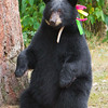 Image of Sharon taken September 2011 when she was a yearling. Sharon was born in 2010 and is decorated with colorful ribbons to help identity her as a collared research bear during hunting season. She is sitting up to make herself taller for a better view of the area. Ursus americanus (American Black Bear).
