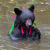 Image of Shirley cooling off in a pond taking September 2011. She is playing with a small stick she found in the pond. Shirley was born in 2010 and is decorated with colorful ribbons to help identity her as a collared research bear during hunting season. Ursus americanus (American Black Bear).