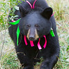 Image of Shirley taking September 2011. Shirley was born in 2010 and is decorated with colorful ribbons to help identity her as a collared research bear during hunting season. Ursus americanus (American Black Bear).