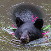 Image of Shirley cooling off in a pond taking September 2011. She is swimming across the pond with a small stick in her mouth - this image reminds me of a beaver hauling sticks to a dam. Shirley was born in 2010 and is decorated with colorful ribbons to help identity her as a collared research bear during hunting season. Ursus americanus (American Black Bear).
