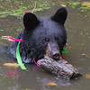 Image of Shirley cooling off in a pond taken September 2011. She is playing with a large piece of a log she found submerged in the pond. Shirley was born in 2010 and is decorated with colorful ribbons to help identity her as a collared research bear during hunting season. Ursus americanus (American Black Bear).