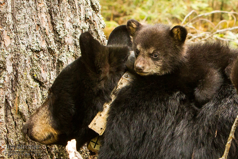 Image of Juliet's cub Sybil resting on her back taken April 2012.  Juliet was born in 2003 and her cubs in January 2012.   Ursus americanus (American Black Bear).