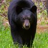 black-bear-star-9417