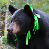 Image of Star taking August 2011. Star was born in 2009 and is decorated with colorful ribbons to help identity her as a collared research bear during hunting season. Ursus americanus (American Black Bear).