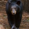 black-bear-star-9377