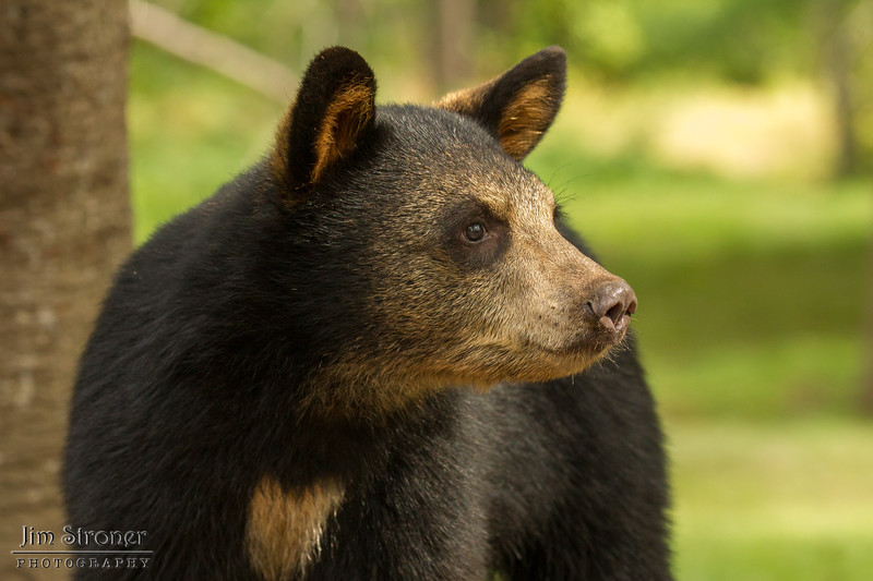 Image of Summer's cub Mocha taken August 2012.  The Mocha were born in 2012. Ursus americanus (American Black Bear).