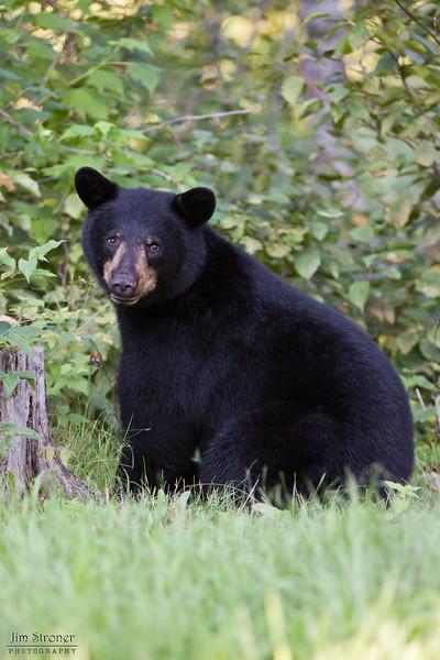 WRI-Black-Bear-9540