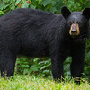 Image of Ursula taken August 2011. Notice the green algae on her muzzle. She must have been cooling off in a nearby pond. Ursula was born in 2005. Ursus americanus (American Black Bear).