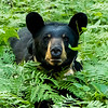 Image of Ursula approaching through ferns taken at dusk late July 2012.  Ursula was born in 2005. Ursus americanus (American Black Bear).