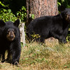 Image of Ursula's two cub's Oso and Urso taken August 2011. The cubs were born in 2011. Ursus americanus (American Black Bear).