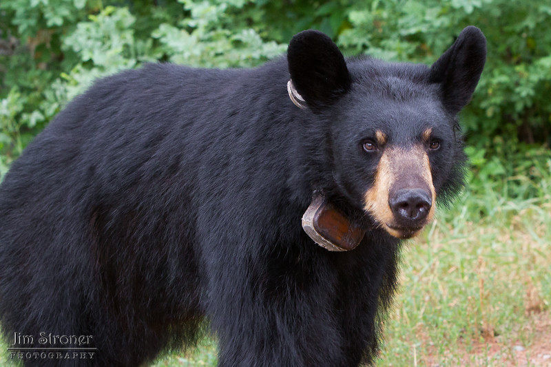 Image of Ursula taken July 2011. She has such a beatiful face with her cinnamon muzzle. Ursula was born in 2005. Ursus americanus (American Black Bear).