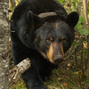 Image of Ursula taken September 2012.  The Ursula was born in 2005. Ursus americanus (American Black Bear).